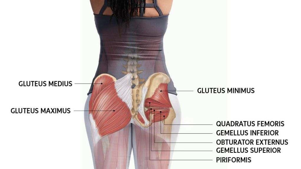 glute muscles anatomical