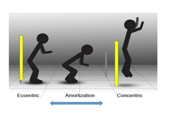 stretch shortening cycle diagram